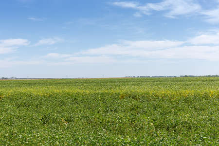 Field with immature soybean on a background of the sky in summer day