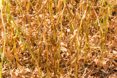 Bottom part of the ripening soybean stems with pods on the field close-up