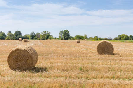 Large round dry cereal straw bales on the harvested field on a background of trees and sky