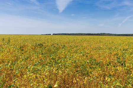 Field with ripening soybean on a background of the sky in summer day