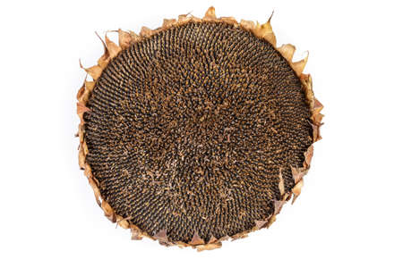 Dry head of sunflower with ripe seeds on a white background, top view 스톡 콘텐츠