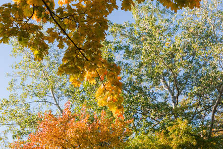 Maple branch hanging down with varicolored autumn leaves on a blurred background of aspen trees and clear sky, background