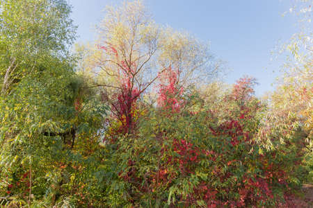 Different deciduous trees and maiden grapes climbing on them with autumn varicolored leaves on the edge of forest