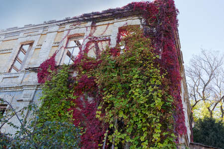 Different climbing plants with bright varicolored autumn leaves, curling on the brick wall of abandoned building, background