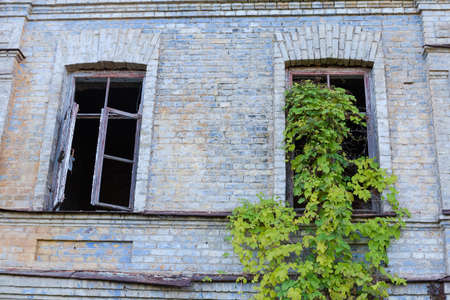 Fragment of the brick wall of abandoned building with wild climbing plants on a window opening