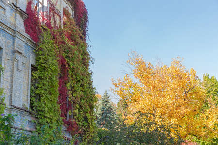 Fragment of the abandoned building with wild climbing plants with bright varicolored autumn leaves, curling on the its walls 写真素材