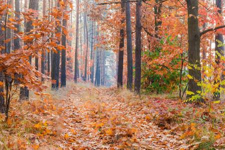 Fragment des Laub- und Nadelwaldes und des mit abgefallenen Blättern bedeckten Weges im Herbstmorgen Standard-Bild