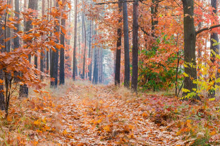 Fragment of the deciduous and coniferous forest and path covered with fallen leaves in autumn morning Banco de Imagens