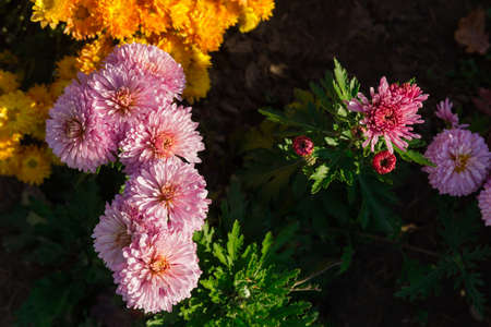 Top view of pink blossoming chrysanthemums on a blurred background of yellow flowers on the flower bed Stok Fotoğraf