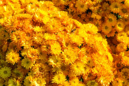 Fragment of the flower bed with blossoming yellow chrysanthemums in autumn sunny day close-up in selective focus