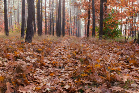 Fragment of the deciduous and coniferous forest and path covered with fallen leaves in autumn morning Stok Fotoğraf