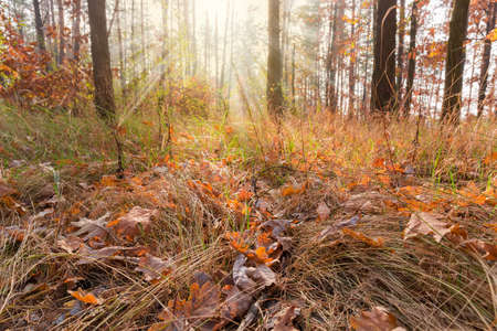 Fragment of the autumn deciduous and coniferous forest with ground covered with withered grass and fallen leaves on a foreground