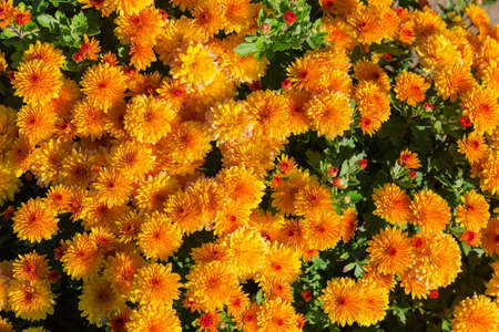 Top view of flower bed of blossoming chrysanthemums with yellow and orange flowers, background