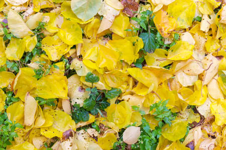 Fragment of land surface covered with wet fallen yellow leaves among grass in autumn cloudy day, top view, background Stok Fotoğraf