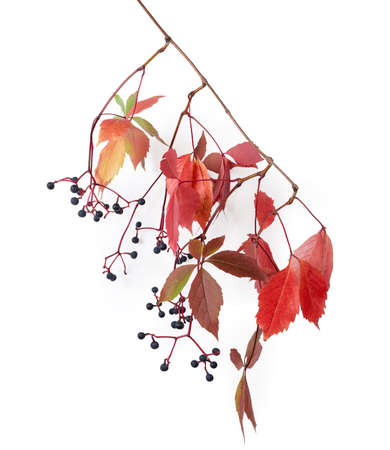Branch of maiden grapes hanging down with varicolored autumn leaves and berries on a white background