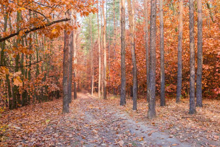 Fragment of the deciduous and coniferous forest and dirt road in him in autumn morning Stok Fotoğraf