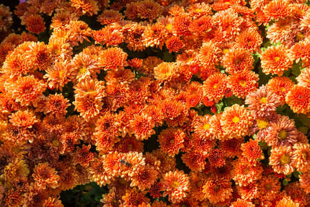 Top view of flower bed of blossoming chrysanthemums with orange color flowers, background