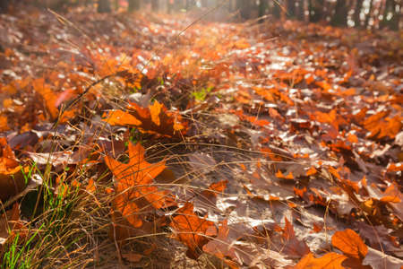 Fallen leaves of red oak among withered grass in the forest, fragment close-up in selective focus Stok Fotoğraf