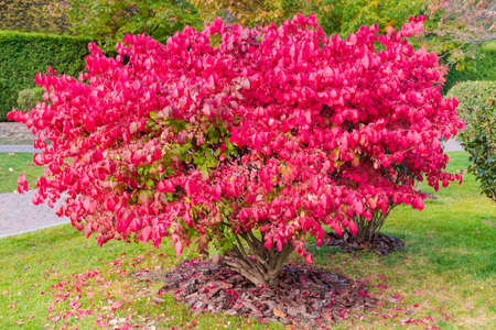 Shrubs of the Euonymus alatus, also known as winged euonymus or burning bush with attractive bright red autumn leaves in park
