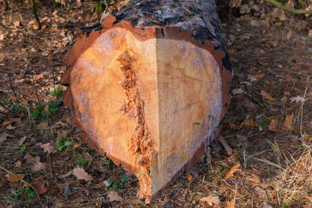 Lower part of the trunk of pine which was cut down with a chainsaw in autumn forest