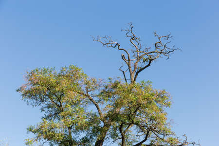 Treetop of old black locust also known as Robinia pseudoacacia or false acacia with leaves and seeds pods, dry dead branches on top against the clear sky