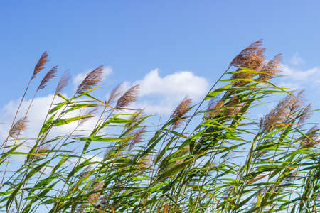 Top part of water reed stems with leaves and seed heads against the sky in the wind in early autumn