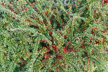 Fragment of the shrub of red barberry, also known as Berberis thunbergii or Japanese barberry with berries in early autumn, background