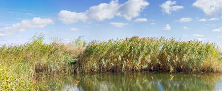 Thickets of water reeds with seed heads by the lake against the sky in the windy weather in early autumn, panoramic view Фото со стока