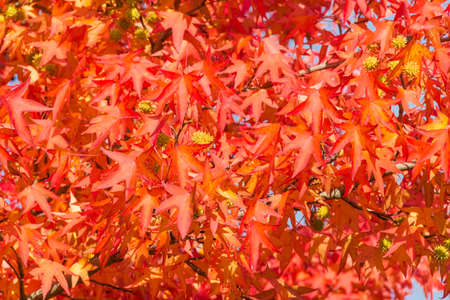 Background of branches of American sweetgum tree, also known as star-leaved gum or alligator wood with red autumn leaves and spiked fruits close-up in selective focus