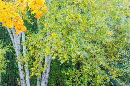 Fragment of aspen tree with green and yellow leaves and small maple branch on a foreground against the other trees, background