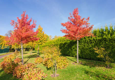 Young American sweetgum trees, also known as star-leaved gum or alligator wood with red autumn leaves and fruits among the bushes hydrangea in park 写真素材