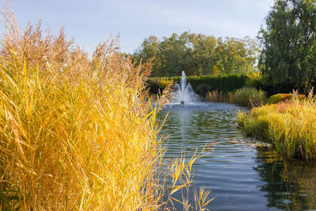 Small scenic pond with fountain and shores overgrown with yellowed reedmace on a foreground in park in autumn day