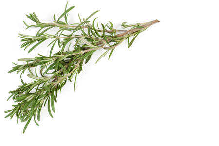 Branch of fresh rosemary with leaves located at the top and left on a white background