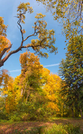 Fragment of the autumn park with different deciduous and coniferous trees, tree top of old oak in center against the sky, vertical panoramic view