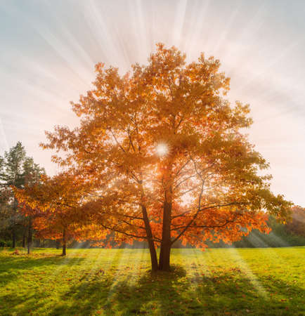 Three red oaks growing from one place on the edge of the meadow in backlit sunlight in autumn park  Stock fotó