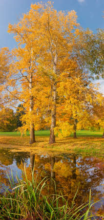 Old aspen trees with autumn leaves on lake shore and their reflection in water in park, vertical panoramic view