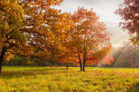 Red oaks on the edge of the glade in backlit sunlight in an autumn park at sunset