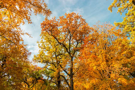 Tops of two old oaks framed with branches of other trees with bright autumn leaves against the sky in park, bottom up view