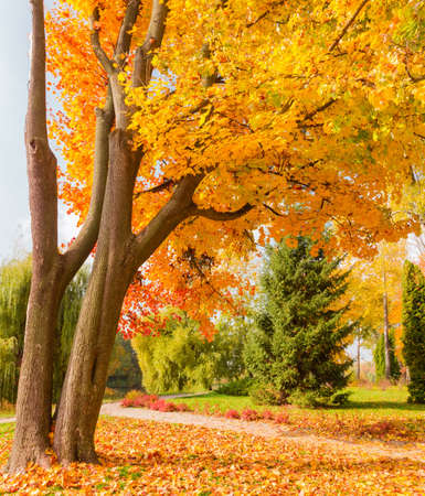 Trunks and lower branches with bright autumn leaves of two old maples growing from one place in park