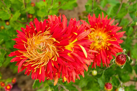 Flowers of red chrysanthemums on the flower bed in autumn cloudy day, top view in selective focus