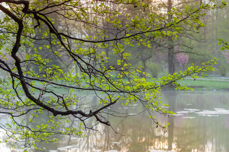 Branch of old alder with spring young leaves and last years catkins and cones over the water on a blurred background of park in morning