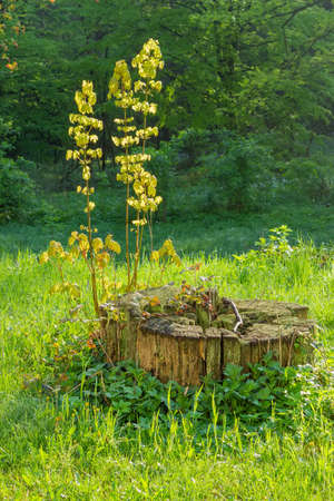 Young shoots of maple with fresh spring leaves growing from an old stump among the glade with grass