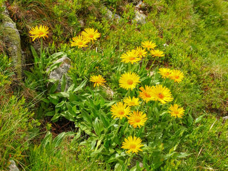Group of flowering Arnica montana also known as mountain tobacco or mountain arnica growing on slope among the grass and stones in Tatra Mountains