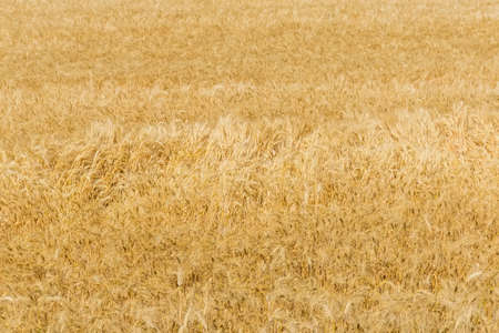 Fragment of the field with ripe winter wheat in summer day in selective focus, background Imagens