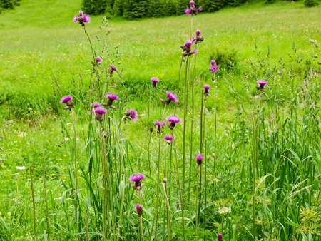 High stems with flowers of the Cirsium arvense also known as field thistle among the tall grass on a glade