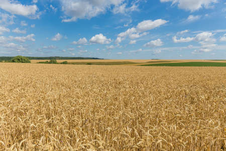 Agricultural grounds with field of the ripe winter wheat on a foreground against the sky in summer day