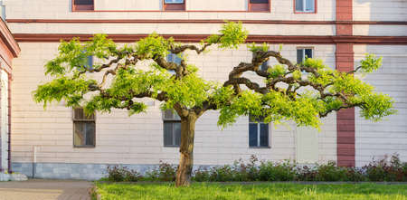 Sophora japonica tree with artificially formed branches of a decorative form and young spring leaves against the building wall, panoramic view,