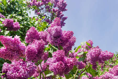 Branches of the flowering purple lilac bushes against of the sky, close-up in selective focus