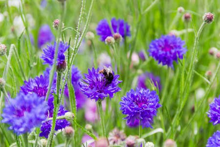 Blue-purple flowers of cornflower and bumblebee sitting on one of them, close-up in selective focus, background