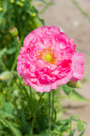 Flower of the ornamental poppy with pink petals growing in garden, close-up in selective focus